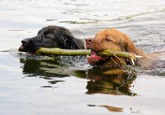 Zwei Hunde schwimmen mit einem Stock in der Elde.