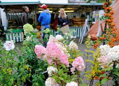 Bio-Wochenmarkt in Hamburg Winterhude - Winterhuder Marktplatz. Pflanzenstand - Hortensien aus biologischem Anbau / Bioland.