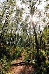 Bäume im Gegenlicht - die Sonne strahlt durch die Äste am Waldboden hohe Farnblätter; ein dicker Ast liegt über dem Waldweg im Naturschutzgebiet Höltingbaum.