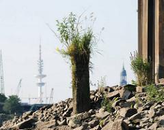 Reste einer alten Holzdalbe / Anlegepfahl - die Spitze ist mit Gras und Wildkraut bewachsen - Reiherstieg im Hambuger Hafen.