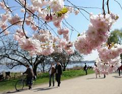 Blueten der Japanischen Kirsche in der Sonne