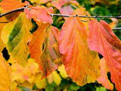 Bunt gefärbte Herbstblätter an einem Strauch im Stadtpark Hamburg Winterhude.