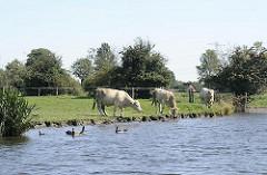 Kühe auf der Weide am Ufer der Doveelbe - eines der Tiere trinkt aus dem Wasser des Hamburger Flusses - Enten schwimmen in der Nähe des Ufers.