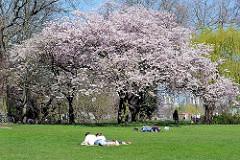 Sonniger Frühling in Hamburg - die Kirschen blühen an der Alster - Menschen liegen in der Sonne auf der Wiese.