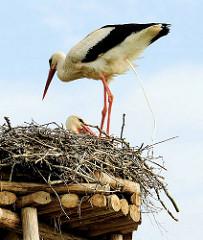 Storchennest mit brütenden Störchen - Storch beim Abkoten über den Nestrand.