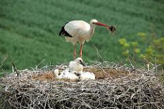 Der Storch betreibt Nestpflege und ordnet das Nestmaterial.