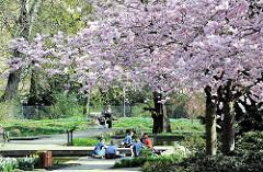 Frühling in Hamburg - blühende japanische Zierkirschen in der Sonne der Grünanlage in Hamburg St. Pauli - ParkbesucherInnen sitzen in der Sonne.
