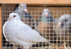 Tauben zum Verkauf in einem kleinen Käfig auf dem Hamburger Fischmarkt.