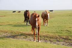 Pferde stehen im Wind auf einer Wiese auf der Insel Neuwerk.