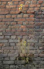 Ziegelmauer / Kaimauer im Hamburger Hafen; aus einer Mauerritze wächst ein blühendes Wildkraut.