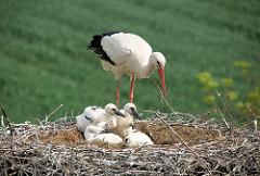 Ländlicher Hamburger Vorort Curslack - Storchennest mit Jungvögeln und Elternteil.