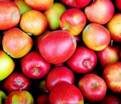 Obstanbau in Hamburg Finkenwerder - Apfelernte im Herbst, rote Äpfel.