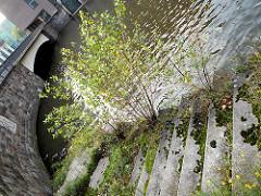 Junge Bäume und Wildkraut wächst auf der Wassertreppe am Nikolaifleet in der Hamburger Altstadt.