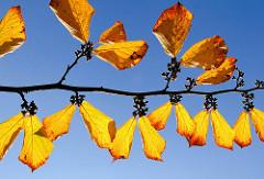 Zweig mit goldgelben und braunen Blätter am blauen Herbsthimmel - Herbstbilder aus dem Stadtpark in Hamburg Winterhude.