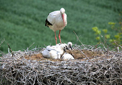 Vier Jungstörche im Nest - zwei weitere wurden wg. Futtermangels aus dem Nest geworfen.