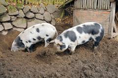 Schweine wühlen im Dreck / Schweinestall im Museumsdorf Volksdorf.
