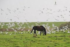 Grasendes Pferd auf der Weide - Möwen fliegen auf - im Hintergrund der Deich  als Schutz gegen das Hochwasser der Nordsee.