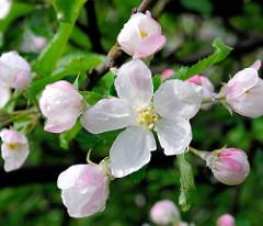 Blühender Apfelbaum am Frühlingsmorgen - Tautropfen auf der weit geöffneten Apfelblüte.