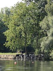 Eine Herde Kühe am Wasser der Tatenberger Bucht.