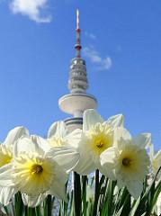 Hamburg im Frühling - blühende Osterglocken, Narzissen in Planten un Blomen - Fersehturm vor blauem Himmel.