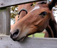 Pferde auf einer Wiese im Hamburger Stadtteil Hausbruch Fischbek. Ein Fohlen steckt seinen Kopf neugierig durch den Holzzaun.