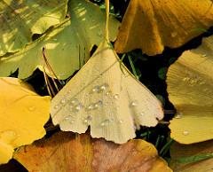 Laub im Herbst im Gras, Tautropfen auf den Ginkoblättern - Herbstfotos aus dem Stadtpark in Hamburg Winterhude.