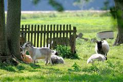 Ziegen und Schafe auf der Wiese - Staketenzaun; Fotos aus dem Hamburger Stadtteil GUT MOOR.
