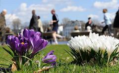 Die Krokusse blühen im Frühling auf den Alsterwiesen - im Hintergrund Jogger und SpaziergängerInnen auf dem Alsterwanderweg.