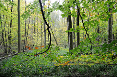 Laubbäume im Wohlstedter Wald.
