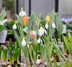 Frühlingsblumen am Verkaufsstand - Tulpen, Hyazinthen und Schneeglöckchen in Blumentöpfen.