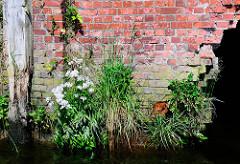 Ziegelmauer / Lagerhaus im Hamburger Hafen;  üppig wachsender Pflanzen / Wildkräuter an der Wasserlinie.