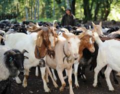 Die ca. 250 Tiere grosse Schafs- und Ziegenherde wird von der Schäferin zur Weide in das Naturschutzgebiet Fischbeker Heide getrieben.