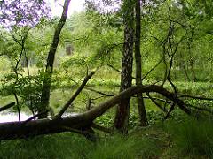 umgestürzter Baum im Duvenstedter Brook - Naturschutz in Hamburg - Hamburgs grösstes Naturschutzgebiet.