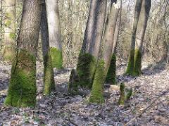 Stadtteil Hamburg Hummelsbüttel - Bäume mit Moos in der  Sievertschen Tongrube, geologisch botanisches Naturdenkmal