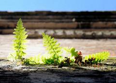Junge Farnpflanzen wachsen in den Mauerritzen eines stillgelegten Industriebetriebs in Hamburg Wilhelmsburg.