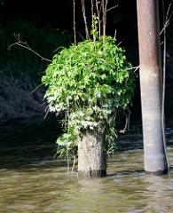 Alter  Holzdalben, dessen Ende dicht mit Gräsern und Pflanzen bewachsen ist, daneben ein Eisenpfahl mit Ösen zum Festmachen von Schiffen -  Relikte / Überbleibsel vom alten Hamburger Hafen.