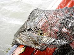 Gefangene Fische in der Reuse - Billwerder Bucht.