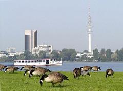 Graugänse weiden auf der Alsterwiese am Ufer der Aussenalster in Hamburg Hohenfelde. Ein Alsterdampfer fährt Richtung Winterhude - im Hintergrund das Hamburg Panorama mit Fernsehturm.