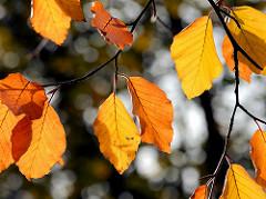 Herbstblätter, herbstlich gefärbt gelbe und rotbraune Buchenblätter; Grünanlage in Hamburg Altona Altstadt - Platz der Republik.