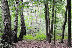 Birkenwäldchen im Raakmoor - dicht stehen die Bäume im Hamburger Naturschutgebiet zuammen - Bilder aus dem Hamburger Stadtteil Hummelsbüttel.
