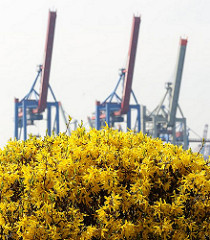 Forsythienbluete in Oevelgoenne - Containerbruecken.