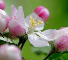 Frühlingsfoto - Apfelblüte und Knospen eines Apfelbaums - Blütenstempel, Nahaufnahme