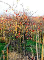 Herbstliche Apfelbäume mit Äpfeln, das Laub ist schon abgefallen. Rote Herbstfrüchte an den Bäumen.