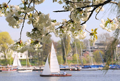 Zweige von japanischen Zierkirschen am Ufer der Alster - Bilder der Kirschblüte in Hamburg - Segelschiffe auf der Alster.