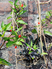 Kaimauer in Hamburg Hammerbrook / Grüne Brücke. Wildpflanzen mit roten Früchten wachsen in einer Mauerritze.