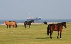 Pferde und Kühe stehen auf der Weide am Nordseeufer - ein Frachter fährt Richtung Elbmündung.