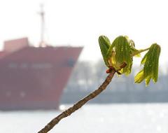 Hamburger Hafen Kastanienblatt Schiffsbug