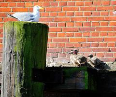 Möwe auf einer Holzdalbe beobachtet ihre Jungvögel / Jungen. Eines übt gerde das Kreischen und hat den Schnabel aufgerissen.