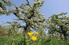 Obstanbaugebiet Altes Land - blühende Kirschbäume, gelbe Löwenzahnblüten - Hamburg Francop.