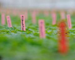 Jungpflanzen in einer Gärtnerei in Hamburg Ochsenwerder - verschiedenfarbige Namensschilder.